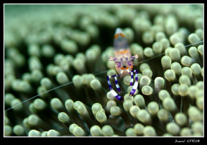 commensal shrimp ;-D by Daniel Strub 